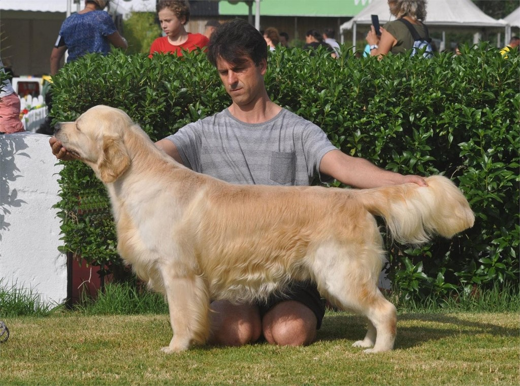 Foto 1 FANTASTICA CAMADA DE GOLDEN RETRIEVER