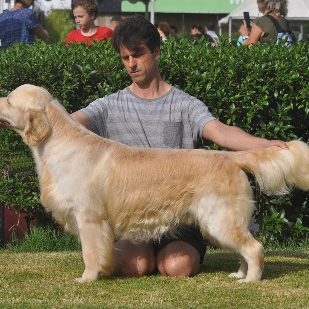 FANTASTICA CAMADA DE GOLDEN RETRIEVER